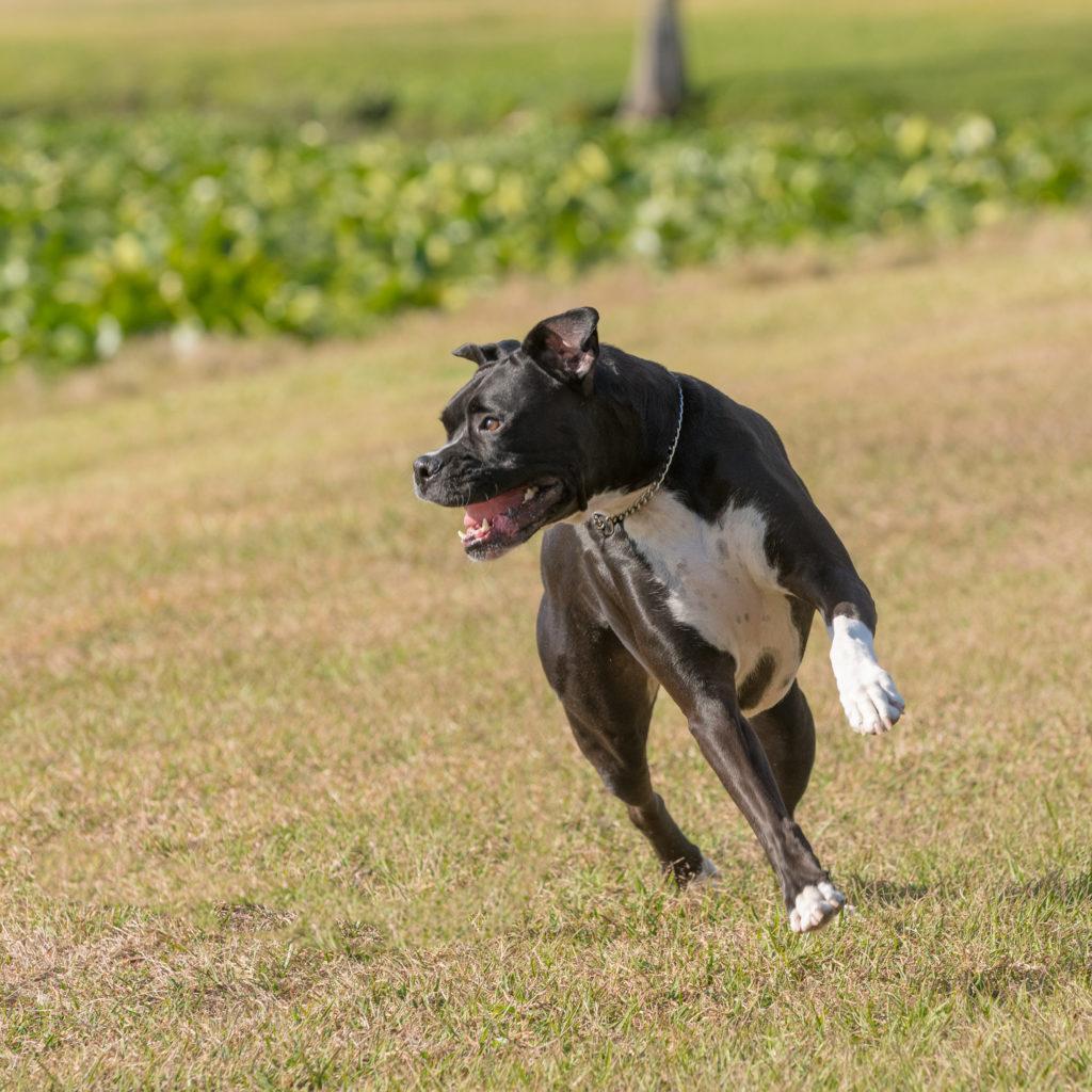 Boxer bounding around